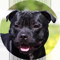 Staffordshire Bull Terrier Rezident